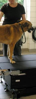 Hund auf instrumentiertem Dualbelt Laufband mit Kraftsensoren